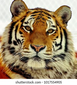 The Amur or Ussuri tiger, or the Far Eastern tiger (Lat. Panthera tigris altaica) is a subspecies of the tiger, the northernmost tiger. Listed in the Red Book