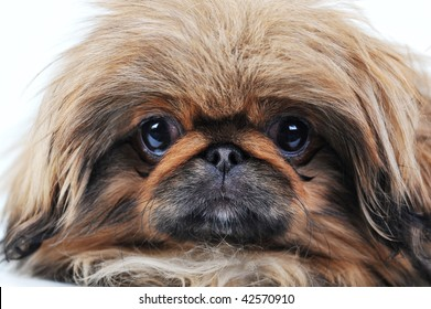 Amusing brown puppy on  white isolated