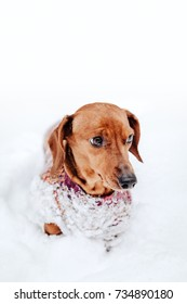 Amusing dog portrait outdoors at winter frosty day. Dachshund in knitted sweater, covered with snow.