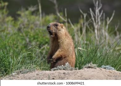 The amusing squalling groundhog.