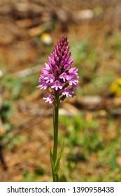 Anacamptis pyramidalis, sahlep orchid, Wildflowers of Turkey