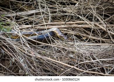Anaconda  in the jungle of Surinam