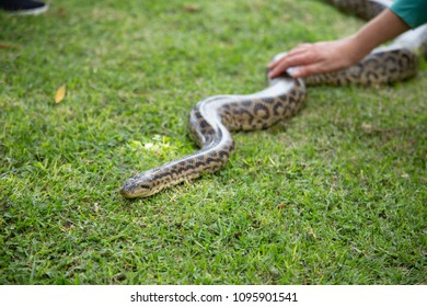 anaconda on the lawn