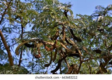 Anadenanthera macrocarpa tree pod in the garden