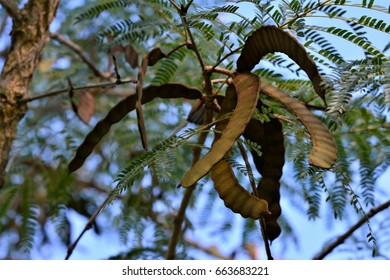 Anadenanthera macrocarpa tree seeds on the square