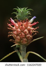 Ananas ananassoides: a species in the genus Ananas