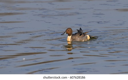 Anas acuta duck swimming on the lake to the left