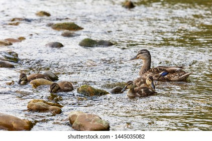Anas platyrhynchos. Female of Mallard with her young feeding on the river.