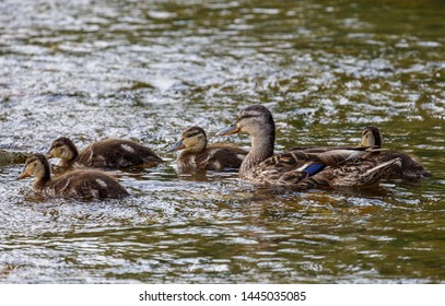 Anas platyrhynchos. Mallard swimming with their young in the river.