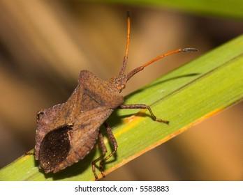Anasa tristis (Squash Bug)