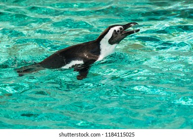 Anative of the waters off South Africa, a captive African Penguine swims in the shallow water at the zoo. Also known as a Black-footed Penguin. Toronto, Ontario, Canada.
