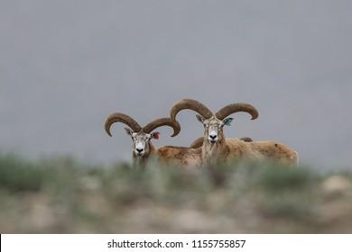 Anatolian Argali Anatolian Mouflon Ovis aries anatolica