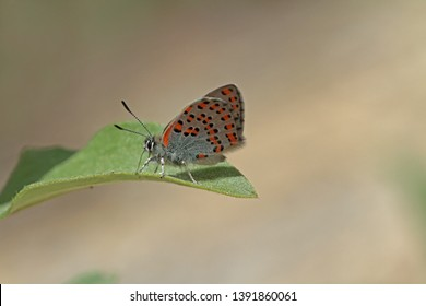 Anatolian ferret butterfly ; Tomares nogelii