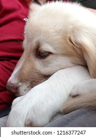 Anatolian Puppy sleeping in the car on her owner's lap
