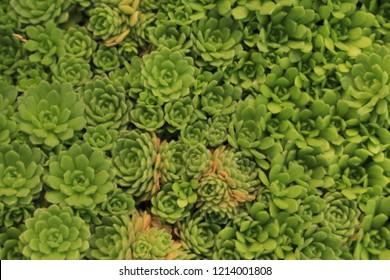 """Anatolian Roseroot"" plant (or Anatolischer Rosenwurz) in St. Gallen, Switzerland. Its Latin name is Rosularia Pallida (Syn Umbilicus Pallidus), native to Anatolia in Turkey."