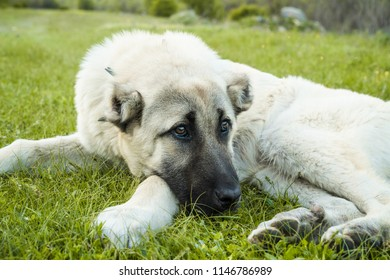 Anatolian sheepdog kangal posing against green natural background