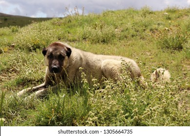 Anatolian sheepdog kangal posing against green natural background - Image