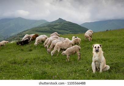 Anatolian Shepherd dog with sheep on a green fields of rural Armenia