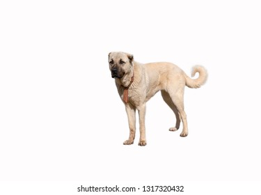 Anatolian shepherd dog (sivas kangal) in isolated white background