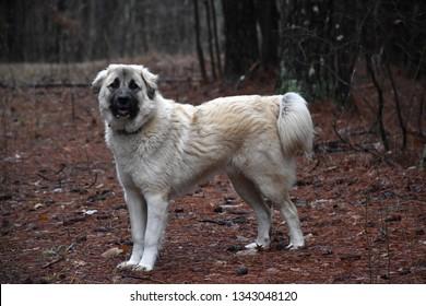 Anatolian Shepherd Dog in the woods