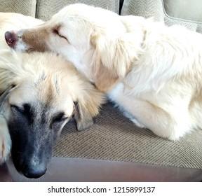 Anatolian Shepherd Puppies sleeping in the back of the truck