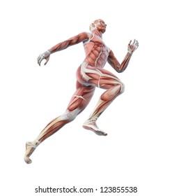 Anatomical illustration of a runner
