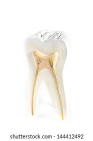 anatomical model of a tooth isolated on a white background