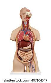 Anatomical model  unisex torso