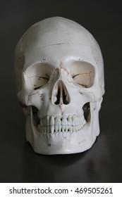 anatomical skull model