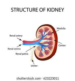 The anatomical structure of kidney. illustration on isolated background.