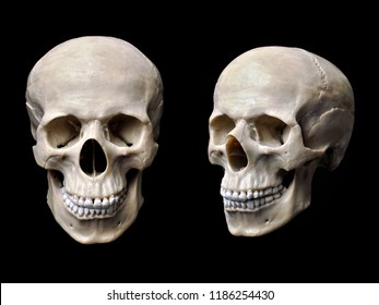 Anatomically correct human skull model isolated on black background.