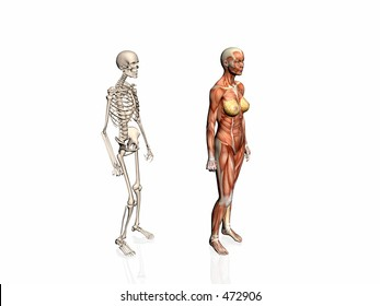Anatomically correct medical model of the human body, woman with skeleton..