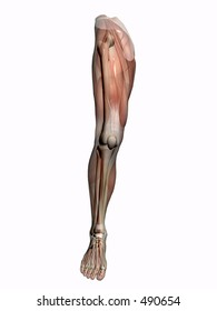 Anatomically correct medical model of the human body, muscles and ligaments showing transparent and skeleton projected into the body. Detail on leg.