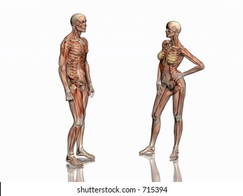 Anatomically correct medical model of the human body, man & women, muscles & ligaments showing transparent,  skeleton projected into the body. 3D illustration over white. Facing towards each other.
