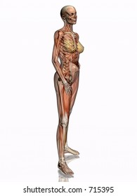 Anatomically correct medical model of the human body, women, muscles and ligaments showing transparent and skeleton projected into the body. 3D illustration over white. Left view.
