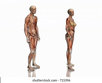 Anatomically correct medical model of the human body, man and women, muscles and ligaments showing transparent and skeleton projected into the body. 3D illustration over white. left view.