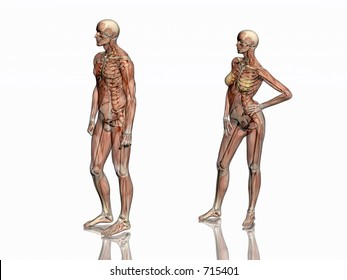 Anatomically correct medical model of the human body, man and women, muscles and ligaments showing transparent and skeleton projected into the body. 3D illustration over white. right view.