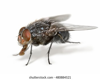 Anatomy of a common housefly close-up macro on white background isolated