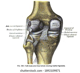 An anatomy drawing and text of the left knee joint from behind, from the 19th century