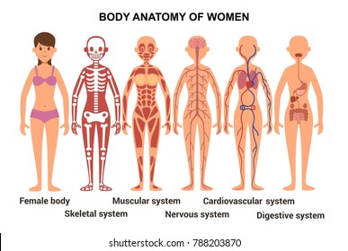 Anatomy of the female body. Skeletal and muscular, nervous and circulatory systems illustration