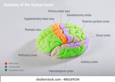 anatomy of the human brain. areas of the cerebral cortex. anatomy of the Central nervous system. the location of the convolutions. volume the layout of the human brain.