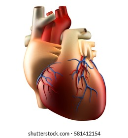 Anatomy of Human Heart 3D illustration - Isolated on white