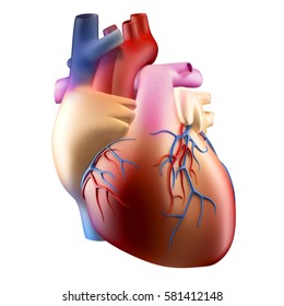 Anatomy of Human Heart Soft Concept 3D illustration - Isolated on white