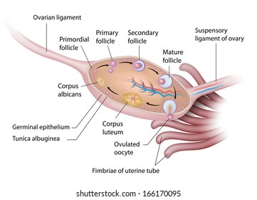 Anatomy of human ovary labeled