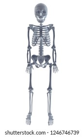 anatomy of a human skeleton in full growth on a white background.