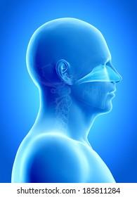 anatomy illustration showing the nasal cavity