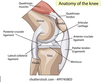 Knee tendons images stock photos vectors shutterstock anatomy knee joint cross section showing the major parts which made the knee joint for ccuart Choice Image