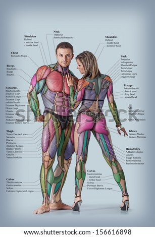 Anatomy Male Female Muscular System Anterior Stock Photo Edit Now