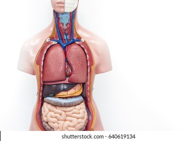 Anatomy model on a white background.