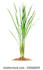 Anatomy of Monocotyledon(Jasmine Rice) plant.